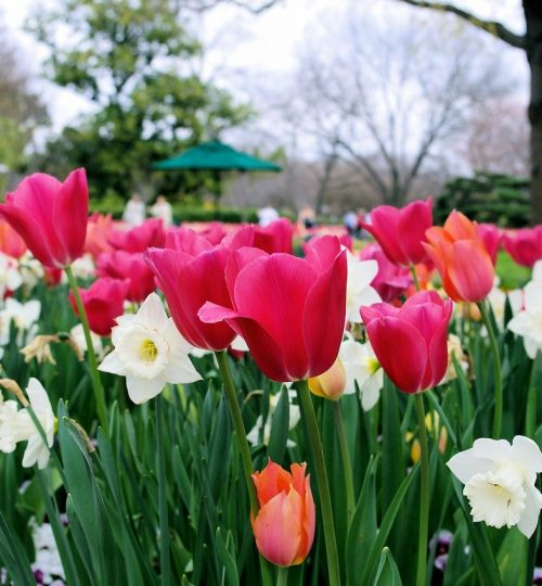 tulips-and-daffodils-3814471_1280